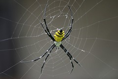 Spider back (smashz) Tags: spider spiders madagascar