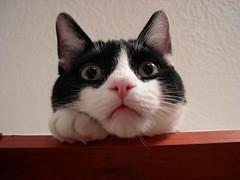 I'm bored. (Thru The Glass) Tags: pet cats pets white black cute animal animals cat furry felines