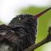 Beija-flor - Hummingbird 2 301 - 4