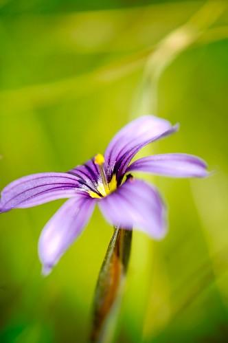 Western Blue-eyed Grass