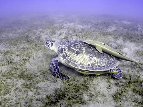 turtle freeloaders