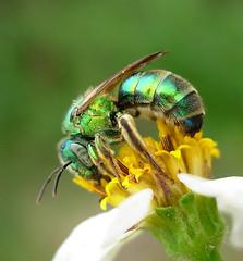 Halictid (Sean McCann (ibycter.com)) Tags: animals insects bugs hymenoptera halictidae