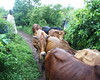 Nyanza Cows (rogiro) Tags: africa road freeassociation animal animals walking cow cows kenya path african country flock upper mara local herd province masaai africans kisumu luo kisii uppercountry awendo oyani nyanza migori