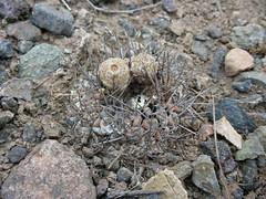 JA01_Eriosyce heinrichiana (Spiniflores) Tags: eriosyce heinrichiana eriosyceheinrichiana ja01