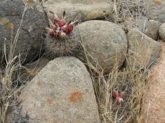 JA01_ Eriosyce heinrichiana (Spiniflores) Tags: eriosyce heinrichiana eriosyceheinrichiana ja01