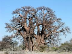 Chapman's Baobab (Makgobokgobo) Tags: africa tree topv111 botswana chapmans baobab makgadikgadi adansonia ntwetwepan ntwetwe makgadikgadipans adansoniadigitata chapmansbaobab