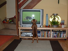 Frank watching Crufts (happylobster) Tags: frank dachshund obedience crufts