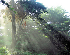 Sunlight in the Park (Sharon Mollerus) Tags: sanfrancisco california park trees light sun grove rays vanityfair sutropark specnature 123faves