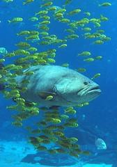 Grouper and Friends (jetrotz) Tags: ocean atlanta sea screensaver georgiaaquarium