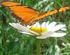 Butterfly & Daisy (marlenells) Tags: flower macro topf25 topc25 topv111 topv2222 510fav wow wonderful butterfly garden wonder ilovenature interestingness amazing lovely1 awesome topv1111 topc50 topc75 topc100 2550fav daisy quintaflower babel maringá 1000v 2000v i500 scoreme40 specnature top20flowersandbugs top2020 naturesfinestalphabet