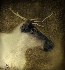 Fate is the hunter (IrenaS) Tags: portrait canada painterly texture nature animal photoshop painting reindeer cs2 digitalart canvas caribou imagemanipulation irenas