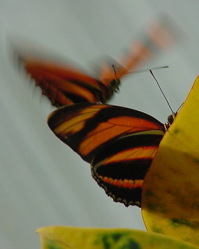 Butterfly N Flight