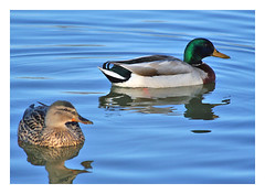 Mallard Couple v2 (CTPPIX.com) Tags: lake bird animal canon 350d xt illinois midwest zoom ct mallard ctp 70300is specnature ctpehlivan wwwctppixcom