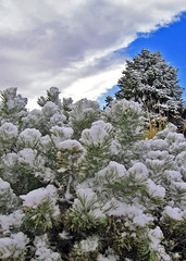 First day of spring in New Mexico? (Rich (Sparky_R)) Tags: blue sky snow newmexico tree green digital canon landscape spring a520 albuquerque evergreen nm