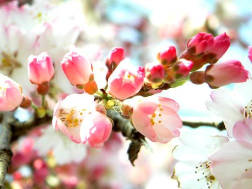 Cherry blossom in Ueno Park, Tokyo