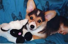 Charm as a pup (CharmDar) Tags: tag3 taggedout pembroke corgi tag2 tag1 charm top20dogpix 5bestdogs welshcorgi cmcaug06