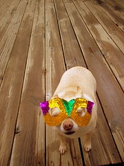 Why are you torturing me? (Patflinschrod) Tags: chihuahua cute dogs topf25 colors catchycolors costume mask chi 25 aww gras mardi catchy annoyed chichi interestingness4 annoyedanimals onetopfave wackyshots abigfave thelittledoglaughed cmcoct06