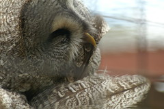 Great Grey Owl (tim ellis) Tags: bird animal smooth greatgreyowl owl photofriday strixnebulosa twycrosszoo spectacularowl goodgrooming hc06085 hc0608 msh1012 msh10127