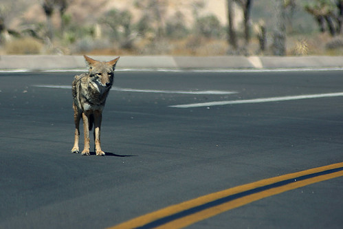 Coyote in the Road, Again