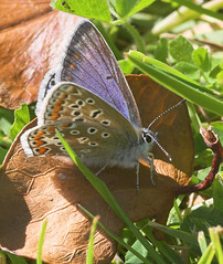 """Common blue butterfly (Polyommatus ic(5) • <a style=""""font-size:0.8em;"""" href=""""http://www.flickr.com/photos/57024565@N00/159362063/"""" target=""""_blank"""">View on Flickr</a>"""