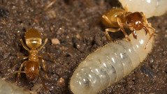 "Yellow Meadow Ants (lasius flavus) an(4) • <a style=""font-size:0.8em;"" href=""http://www.flickr.com/photos/57024565@N00/159363158/"" target=""_blank"">View on Flickr</a>"