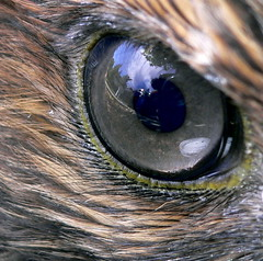 Hawkeye (jurvetson) Tags: reflection eye bravo hawk 500plus20 creativecommons top20macro tpc redtailedhawk upcloseandpersonal top2020 aplusphoto tpcu14 tpcu14l6