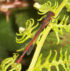 """Large Red Damselfly (pyrrhosoma nymphula) Male • <a style=""""font-size:0.8em;"""" href=""""http://www.flickr.com/photos/57024565@N00/162978891/"""" target=""""_blank"""">View on Flickr</a>"""