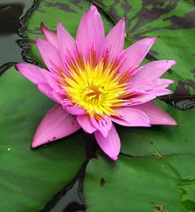 Aquatic Gardens (` Toshio ') Tags: pink flower color washingtondc dc washington aquatic kiss2 toshio aquaticgarden kiss3 kiss1 kiss4 kiss5