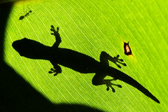 Before Lunch (konaboy) Tags: silhouette lunch leaf ant banana meal gecko 23332