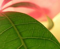 mango leaf (dryguy) Tags: mango mangotree jah rastafari red yellow green rateme17 rateme27 rateme37 rateme48 rateme23 rateme675 rateme78 rateme87 rateme96 weeklysurvivor rateme108 rateme34