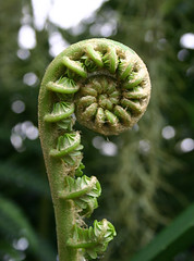 spiral (ibeamee) Tags: sanfrancisco plant flower fern macro green spiral conservatory fiddlehead tight coil wound conservatoryofflowers koru coiled sanfranciscoconservatoryofflowers