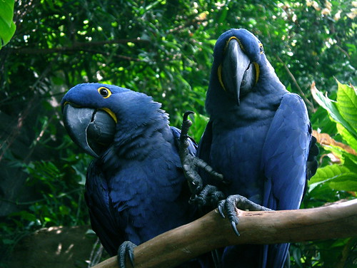 Hyacinth macaws by alumroot