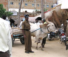 kuppam-traffic-control-050701 (hjl) Tags: kuppam andhra pradesh india rural development cow