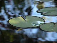 Lily pad 2 (Tonym1) Tags: pond water nature lilypad nikon5700