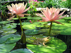 Twin Parasols (pauly...) Tags: flowers flores fleurs pond waterlily watergarden watergardens frogs amiko ponds ranas