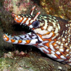 #017 leopard moray (トラウツボ) (Nemo's great uncle) Tags: geotagged underwater scuba diving sealife leopard eel izu moray 大瀬 トラウツボ 大瀬崎 ōsezaki 西伊豆 westizu pardalis 生物 leopardmoray 水中 enchelycorepardalis geo:lon=138786657 geo:lat=35024092 enchelycore