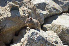 Squirrel (aemb01) Tags: squirrel brown rocks sea marron brun rocher ecureuil
