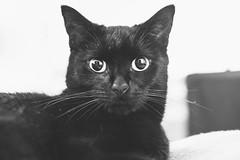 IMG_7006 (BalthasarLeopold) Tags: animal animals balthasar blackcat blackcats cat cateyes cats feline felines indoorcat kitten kittens leopold pet pets