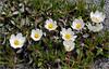 Dryas octopetala... (Everest Daniel) Tags: flower alpine white dryas octopetala switzerland swissalps kandersteg