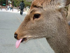 Eyebrow deer 2 (Haseo) Tags: tongue japan deer eyebrow  nara todaiji   toudaiji