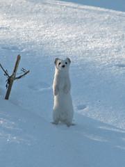 lumikko 3 (Marko_K) Tags: winter white snow topf25 mrjackfrost tag3 taggedout 1025fav wonder ilovenature top20animalpix tag2 tag1 100v10f weasel topv4444 50v5f mustelanivalis 64points leastweasel 123faves specanimal animalkingdomelite