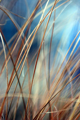 blades of gold (jaki good miller) Tags: abstract nature grass ilovenature outdoors gold interestingness spring backyard explore exploreinterestingness jakigood blades miscanthus earlyspring newlife 1on1 signsofspring blueandgold top500 springset explorepage explored 1on1halloffame explorepages