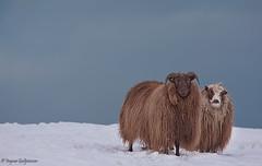 Winter sheeps (ingvargud) Tags: winter snow animal iceland sheep kind planet sheeps sland kindur rolla snjr vetur r lightiq