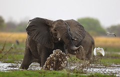 Elephant running for his live