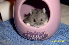 Baby Dwarf Hamster Chuck with Dusty Nose and Whiskers (Chester the Dwarf Hamster) Tags: seattle winter baby white john mammal rodent pups chelsea babies fuzzy sweet dwarf small stripe fluffy chester hamster chuck dorsal russian campbells