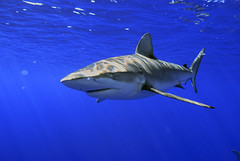 Galapagos Shark (ScottS101) Tags: ocean travel fish nature ilovenature hawaii shark marine underwater wildlife teeth scuba galapagos jaws sharks predator allrightsreserved marinelife parkstock ilovetheocean animalkingdomelite galapagosshark bestofbestnature copyrightscottsansenbach2008