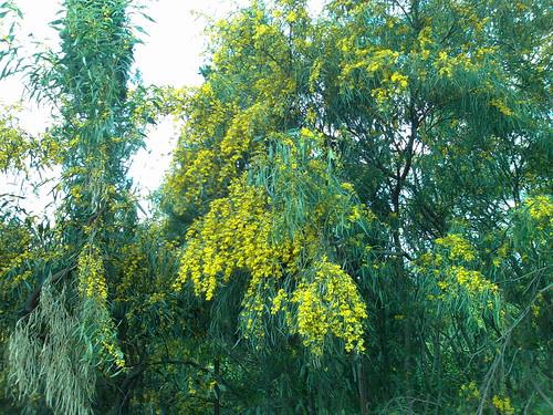 Sembrano mimose