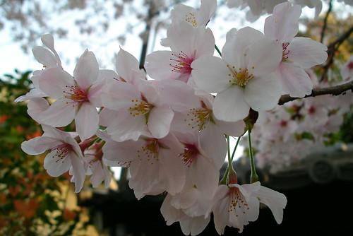 桜さくらサクラ