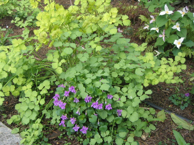 Thalictrum and Violets