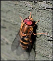 Hoverfly (*Melody*) Tags: macro fence insect ilovenature wings eyes legs hoverfly naturesfinest superaplus aplusphoto superbmasterpiece diamondclassphotographer flickrdiamond photofaceoffwinner pfogold